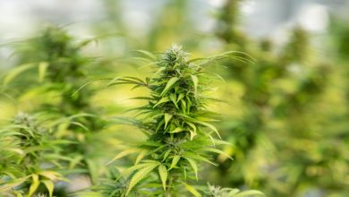 Photo of Everything you need to know about Hemp Flower and its uses